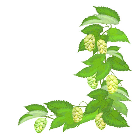 Branch of hops isolated on white background - vector illustration