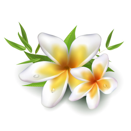 dewy: Dewy frangipani flowers with leafs - isolated on white background. Vector illustration.