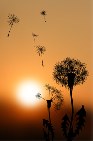 fading: Silhouettes of fading dandelions at sunset - vector illustration