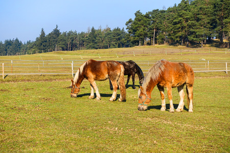 pasturage: Horses on pasture - spring countryside with forest and blue sky