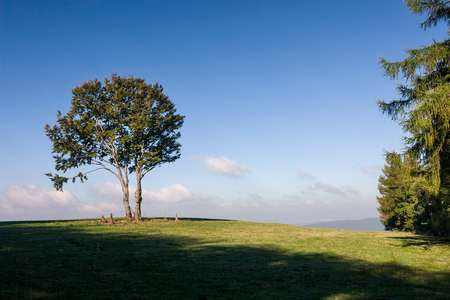 solitaire: Solitaire tree on horizon against blue sky and green meadow