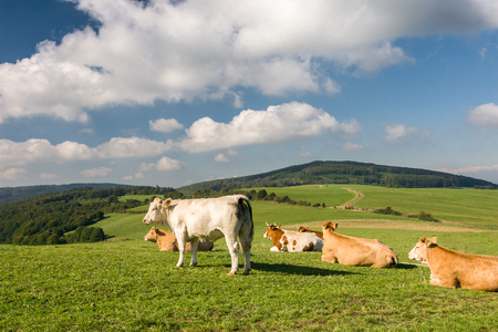 milker: Cows on the green pasture in amazing summer landscape in Czech Republic, Europe