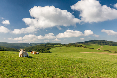 milker: Cows on the green pasture - amazing summer landscape in Czech Republic, Europe