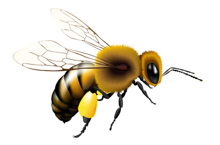 Vector illustration of bee with transparent wings for any background - isolated on white 일러스트