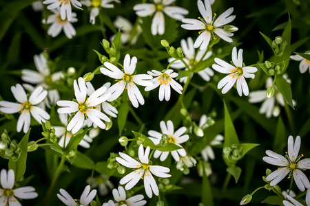 chickweed: Amazing spring white flowers of chickweed on green background with low depth of field