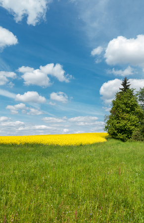 czech: Spring countryside with green meadow, spruce tree, yellow blooming rapeseed field and blue sky with white clouds. Farmland in Czech Republic, Europe.