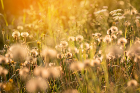 Dreamy atmosphere of romantic summer meadow with flowers, faded dandelions and sunny light Stock Photo
