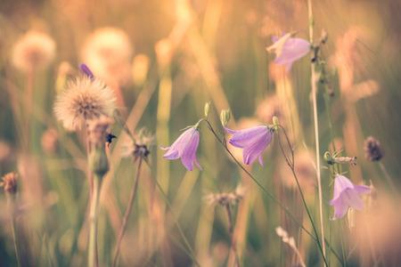 dreamy: Dreamy feeling of summer flowering meadow with bell flowers