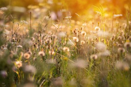 atmosfera: La atmósfera romántica del prado del verano con las flores, los dientes de león descolorados y la luz asoleada
