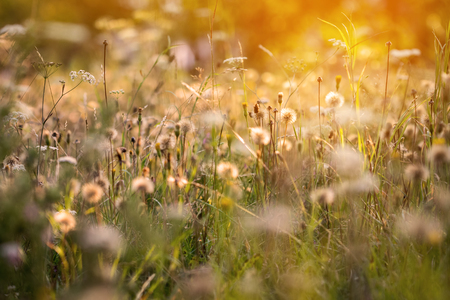 Romantic atmosphere of summer meadow with flowers, faded dandelions and sunny light Stock Photo