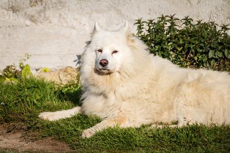 siberian samoyed: White siberian samoyed dog lying on grass on sunny day