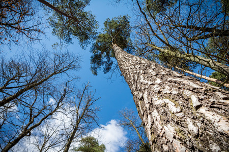 pine forest: Look up in spring forest – pine tree and blue sky with clouds