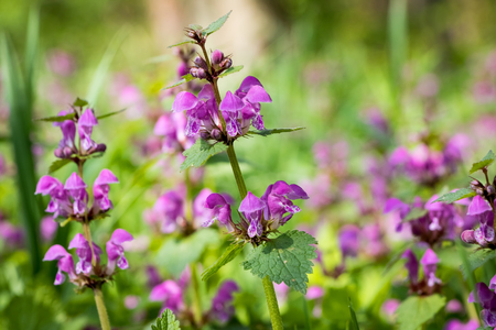 Flowering Lamium maculatum also known as spotted dead-nettle, spotted henbit or purple dragon - springtime detail from Czech Republic, Europe Stok Fotoğraf
