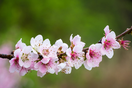 tree detail: Flowers of almond tree in detail with water drops and green blurred background - copy space for your text