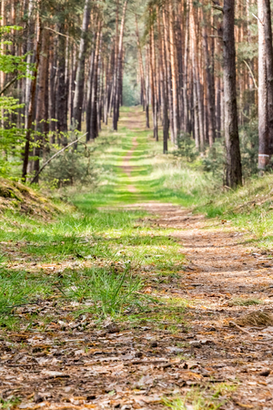 straight path: Straight path through spring pine forest with green grass - Czech Republic, Europe