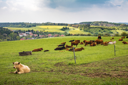 milker: Cows on green pasture under cloudy sky - amazing spring landscape in Czech Republic, Europe Stock Photo
