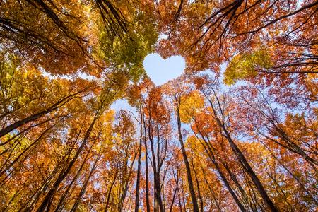 Herzform in Baumkronen aus farbigen Buchen unter blauem Himmel - schauen Sie im erstaunlichen Herbstwald nach oben