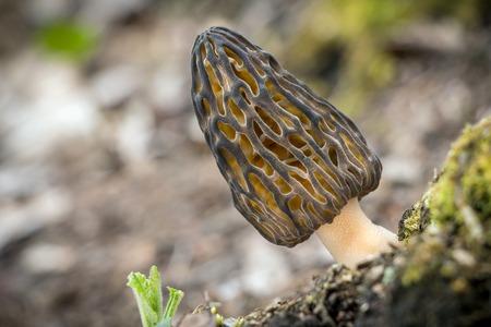 Shot of amazing, edible and tasty morel mushroom on blurred background - Czech Republic, Europe