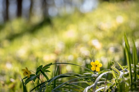 Detail of yellow flower in spring forest with blurred background - Czech Republic, Europe Stock Photo