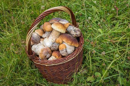 Wicker basket with tasty edible mushrooms (Boletus edulis and Leccinum versipelle) - Czech Republic, Europe