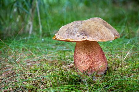 Close-up shot of amazing edible mushroom Neoboletus luridiformis in grass with blurred background Reklamní fotografie