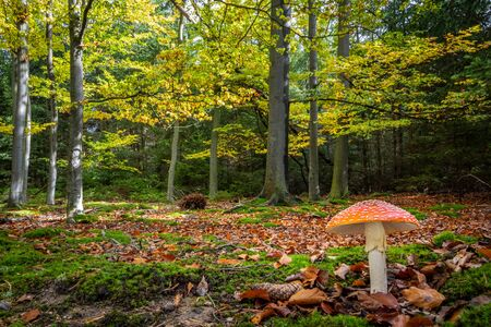 Colorful autumnal beech forest with fly agaric mushroom (Amanita muscaria). Czech Republic, Europe. 写真素材