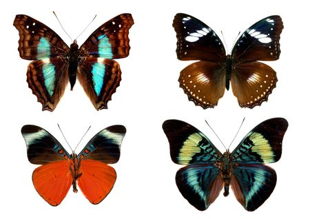 whitespace: isolated butterflies