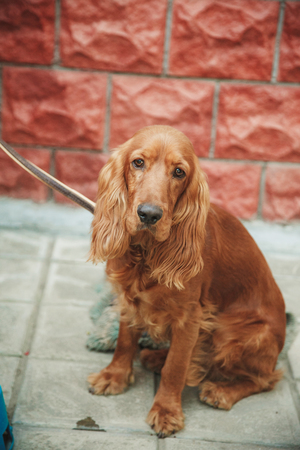 looking away from camera: English cocker spaniel, 9 months old, sitting in the street