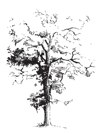 Sketched silhouette of black poplar tree. Illustration