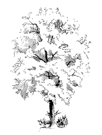 Sketched silhouette of lime tree. Illustration