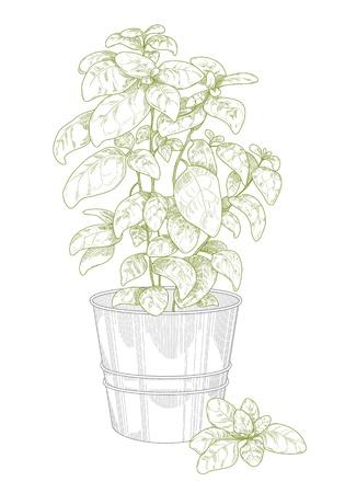 basilico: Albahaca maceta Vectores