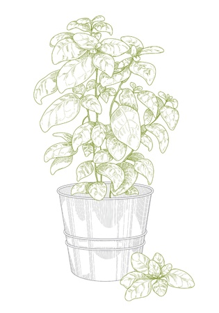 pencil plant: Potted basil Illustration