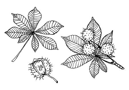 Elementi di disegno al tratto foglie e noci di castagno