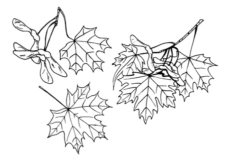 Lineart design elements  Leaves and fruits of maple tree