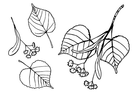 Lineart design elements - tilia tree