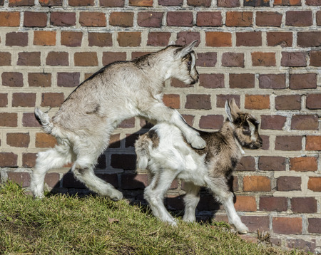 Baby goats playing in front of barn  photo