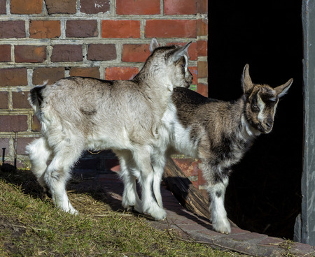 bovidae: Baby goats playing in front of barn  Stock Photo