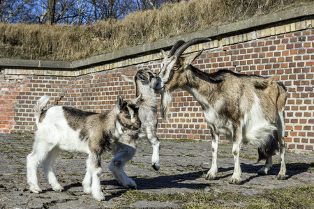 bloodstock: Goat with babies. Stock Photo