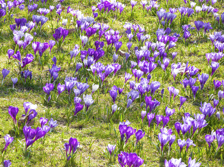 violet spring flowers, crocus photo