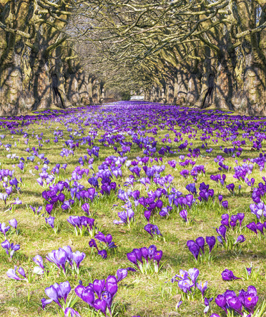 violet spring flowers, field of crocuses in the park photo