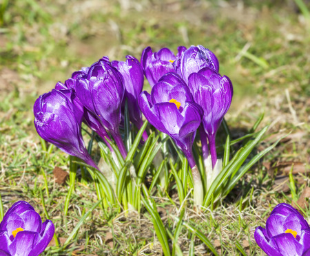 violet spring flowers, crocus, shallow depth of field  photo