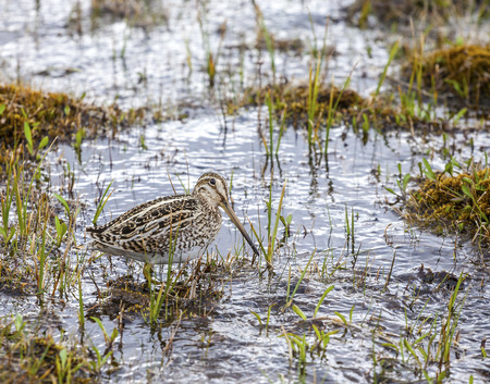 Bird in natural environment, Hudsonian Godwit, Torres del Paine National Park, Chile