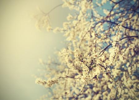 china background: Vintage tree flower background photo of beautiful cherry tree  Antique style photo