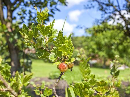 gooseberry bush: Ripe gooseberries on the branch in garden. Stock Photo