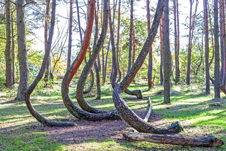 crooked: Grove of oddly shaped pine trees in Crooked Forest, Poland.