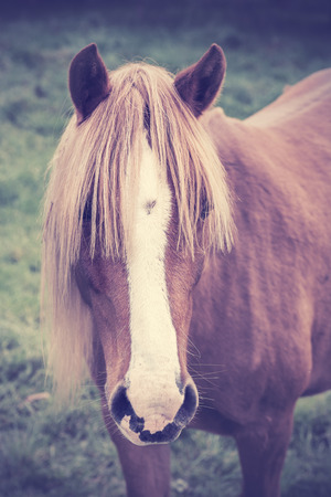 foretop: Vintage portrait of a chestnut horse with long foretop. Stock Photo