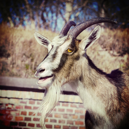 Retro vintage filtered portrait of a goat. photo