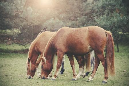 filtered: Retro vintage filtra foto de los caballos de pastoreo. Foto de archivo