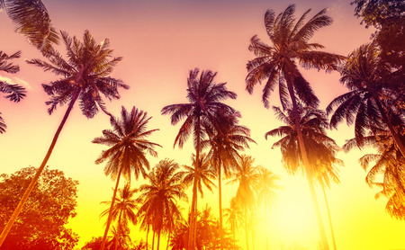 palm: Golden sunset, nature background with palms.