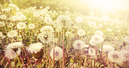 Retro toned nature background made of dandelions at sunset, shallow depth of field.